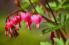Interesting Facts about Bleeding Heart Plant