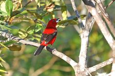 Foto tiê-sangue (Ramphocelus bresilius) por Ivan Angelo | Wiki Aves - A Enciclopédia das Aves do Brasil