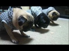 Look at the focus and concentration in the pugs while they wait to eat their treats! My pugs would never wait that long to eat a treat! Funny Animal Images, Funny Animals, Cute Animals, Animal Pics, Pugs In Costume, Costumes, Guilty Dog, Pug Puppies, Cute Pugs