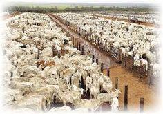 Image result for foto de fazenda com muitos bois nelori