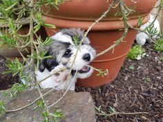 Hunde Foto: Laura und Paula_der_Havapekipoo - Gartenzerstörer Hier Dein Bild hochladen: http://ichliebehunde.com/hund-des-tages  #hund #hunde #hundebild #hundebilder #dog #dogs #dogfun  #dogpic #dogpictures