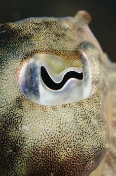"This is an eye of a cuttlefish. A cuttlefish's pupil is the shape of a ""w"". A cuttlefish has 8 arms and 2 tentacles. Its average lifespan is approximately 2 years. Ocean Creatures, Weird Creatures, Iris, Octopus Eyes, Reptiles, Eye Close Up, Eye Pictures, Photos Of Eyes, Dragon Eye"