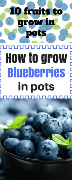 10 Fruits To Grow In Pots So That A Fresh Juice Is Always Close  #blueberries#fruit#garden#gardening#growyourmint.com #fruitgarden