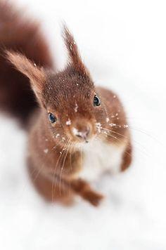 Ecureuil roux dans la neige