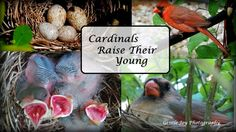 Gentle Joy Photography: Cardinals Raise Their Young