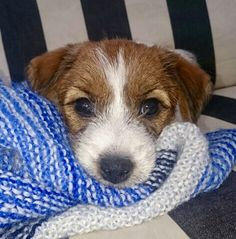 Pin Up, my Jack Russell Terrier puppy 8 weeks