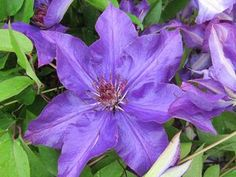 Clematis The President  At/Co