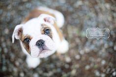 Lola's has the cutest bulldog puppy eyes. <3 Pet Photography | Dog | Animal