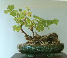 Vitis, la vigne en bonsai