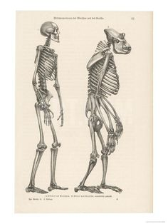 Human Skeleton Compared with That of a Gorilla Giclee Print at Art.co.uk