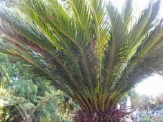Цикас (Cycas Revoluta)