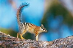 A numbat, which kind of looks to me like a squirrely anteater.
