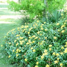 Dry Shade Plants, Gardens, Yellow Flowers, Design Of House, Landscape