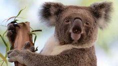 Door de opwarming van de aarde zijn de koala's in levensgevaar door toenemende hitte en droogte.