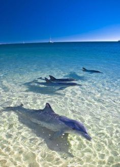 Dolphins at Monkey Mia, Australia. on my bucket list. Swim with the dolphins here Orcas, Beautiful Creatures, Animals Beautiful, Beautiful Babies, Beautiful World, Beautiful Places, Wale, Delphine, Sea World
