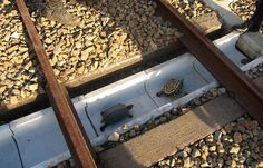 Railway engineers in Japan have created a scheme to prevent wandering turtles being killed by trains while crossing the country's rail tracks. Working in conjunction with the Suma Aqualife aquarium in Kobe, West Japan Railways installed shallow tunnels allowing the reptiles to walk safely beneath the tracks.