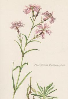 1954 Fringed Pink Vintage Botanical Print Lithograph Dianthus