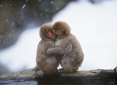Japanese Macaque Monkeys getting cosy :) Tier Wallpaper, Monkey Wallpaper, Animal Wallpaper, Wallpaper Ideas, Cartoon Wallpaper, Cute Animal Videos, Cute Animal Pictures, Monkey Pictures, Free Pictures