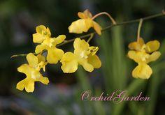 Orchid Oncidium ornithorhynchum hybr (FS)
