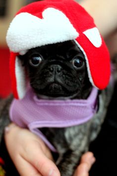 puppy pug is getting ready for winter