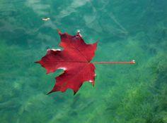 Red Leaf on Green Lake