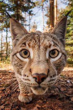 The Beauty of Wildlife...Lynx ahead by Stefan Betz
