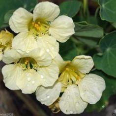 25 Climbing Nasturtium Seeds-Yeti -Creamy White (Tropaeolum Lobbianum) Very Rare