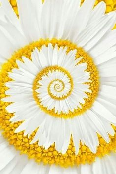 A Golden-Mean / Fibonacci Spiral in this daisy…. A miracle daisy Unusual Flowers, Rare Flowers, Amazing Flowers, Beautiful Flowers, Daisy Flowers, Anemone Flower, Gerbera Flower, Daisy Daisy, Gerbera Daisies