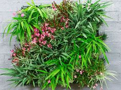 This scheme features pink-flowering Gaura 'Lollipop Pink', Dianella 'Cassa Blue' and 'Little Jess', santolina and society garlic. The sides are planted with mini mondo grass.