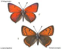 Afbeeldingsresultaat voor rode vuurvlinder