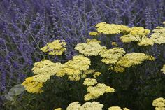 Achillea 'Credo' Flat, plate-like heads of yellow flowers, which fade to cream as they mature, are held high on tall stems above the fern-like foliage. Grows to 1.2m.    Perovskia 'Blue Spire' With its aromatic leaves and upright spikes of violet-blue flowers, Russian sage makes a wonderful companion to all kinds of late-summer ornamental grasses and perennials. Grows to 1.2m.