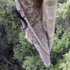 Photo by @TimLaman in Gunung Palung National Park Borneo Indonesia. Working on unique angles on canopy wildlife I caught this remote shot of a Prevosts Squirrel climbing up a strangler fig root into the canopy. One of the many squirrel species in Gunung Palung. #Indonesia #Borneo #GunungPalung #saveGPorangutans #rainforest @thephotosociety @natgeocreative @TimLaman. by natgeo