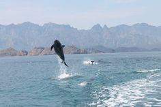 Playful #dolphins at the Islands of #Loreto ... what a wonderful world #ttot #LoveBaja
