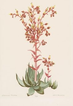 echeveria imbricata botanical drawing - Google Search
