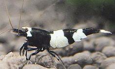 Panda Shrimp - (http://www.eliteinverts.com/panda-shrimp/)