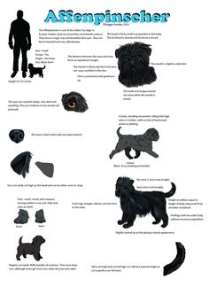 Affenpinscher Guide