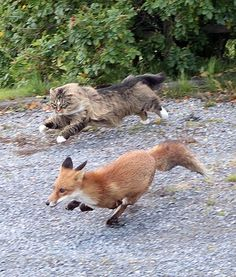 curious-wiccan:  Norwegian forest cat chasing a fox