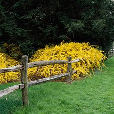 Forsythia...so easy easy easy to grow..will root on its own for new starts to pull up and plant elsewhere. Drought resistant