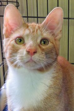 "HARLEY ""6-320"" - URGENT - TOWN OF BABYLON ANIMAL SHELTER in West Babylon, NY - ADOPT OR FOSTER - Male KITTEN Domestic SH Mix"