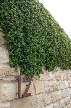 Aptenia cordifolia spilling over sandstone wall
