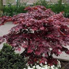 2016 fresh seeds 20pcs Japanese maple tree seeds Beautiful plants decorate your home garden