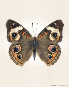 Brown Butterfly Photograph Nature Photograph Large Wall Art - Brown Butterfly Photograph Nature Photograph Large Wall Art Print Buckeye Butterfly Print Insect Art Natural History Print Fine Art Butterfly Photography Print Of A Common Buckeye Butterfly Jun Buckeye Butterfly, Orange Butterfly, Vintage Butterfly, Butterfly Photos, Butterfly Wings, Beautiful Bugs, Beautiful Butterflies, Art Papillon, Insect Art
