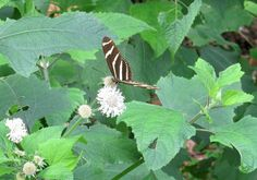 Here's a zebra longwing butterfly (Heliconius charithonia) taking nectar from a snow squarestem (Melanthera nivea). This is Florida's state butterfly and is found in Florida, southern Texas and Mexico. Plant Plant Passiflora incarnata in partial shade if you wish to attract these butterflies to your yard, in addition to a variety of nectar plants, as it's the only larval host for zebra longwing.