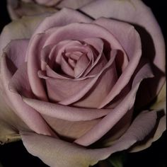 Amnesia rose - my favourite rose. beautiful dusky pink/pale violet colour - elegant and vintage. - I've never seen this, maybe I need another rose bush. Purple Wedding, Floral Wedding, Wedding Bouquets, Wedding Flowers, Wedding Colours, Wedding Decor, Lavender Roses, Pink Roses, All Flowers