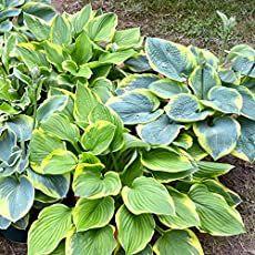 10 Hosta Bumper Crop Mix - 10 Bare Root Hostas - Fabulous Color for Shady Gardens Edging Plants, Hosta Plants, Shade Plants, Perennial Plant, Ivy Plants, Shade Flowers, Garden Trees, Garden Plants, Garden Shrubs