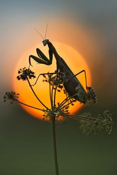 Preying mantis' help keep the garden pests in check, but they also enjoy eating Monarch chrysalis.....