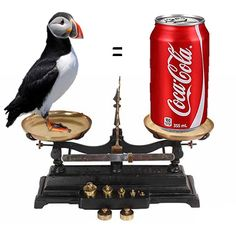 Puffin weighs same as can of Coke