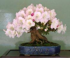 Beautiful Bonsai <3