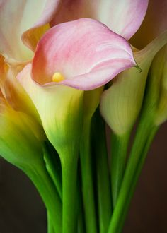 Calla Lilies. My favorite flower. Fo realz. Savannah Treleven's favorite flower.