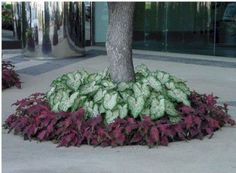 Precision Landscape Caladiums Gingerland with Red Frill - Flower Beds and Gardens Landscaping Around House, Landscaping With Rocks, Front Yard Landscaping, Backyard Landscaping, Landscaping Ideas, Crepe Myrtle Landscaping, Hydrangea Landscaping, Florida Landscaping, Garden Yard Ideas